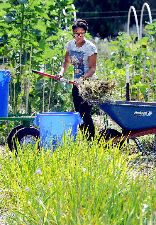 """Description of . Santa Chaney putting weeds into a bucket taken at Muir Ranch. Each year Americans squander enough food to fill the Rose Bowl to the brim, about 160 billion pounds of food, according to Jonathan Bloom, author of """"American Wasteland: How America Throws Away."""" Muir Ranch,  is trying to reduce food waste through two acres of urban farm at John Muir High School in Pasadena Tuesday, May 21, 2013. Students can enroll in classes or get paid internships, and the school cafeteria as well as local community gets access to fresh, locally grown produce. Right now no government agency is measuring how much food is wasted, so experts say that it will be hard to diminish food waste, a problem that leads to environmental pollution and waste of the oil used to transport the goods.(SGVN/Photo by Walt Mancini)"""