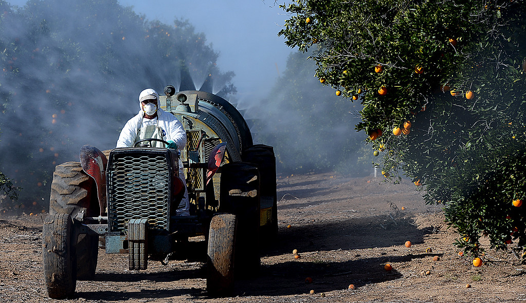 Description of . Citrus grove workers, for Jacinto Farms, spray a