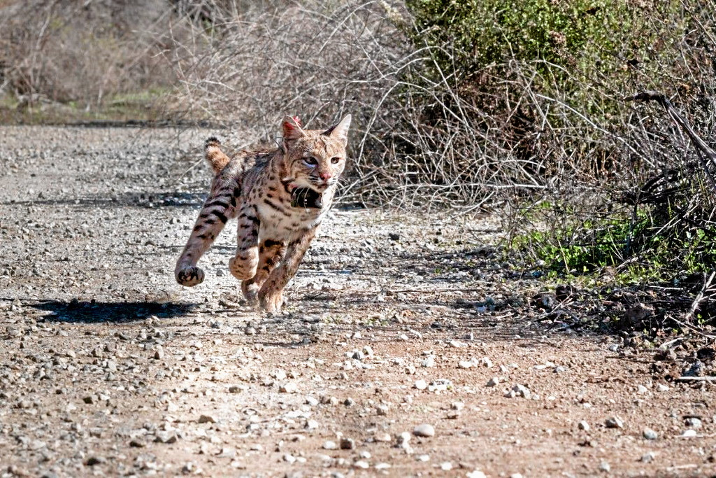 Description of . Bobcats (Lynx rufus) are a common carnivore denizen of suburban southern California.  USGS Photo