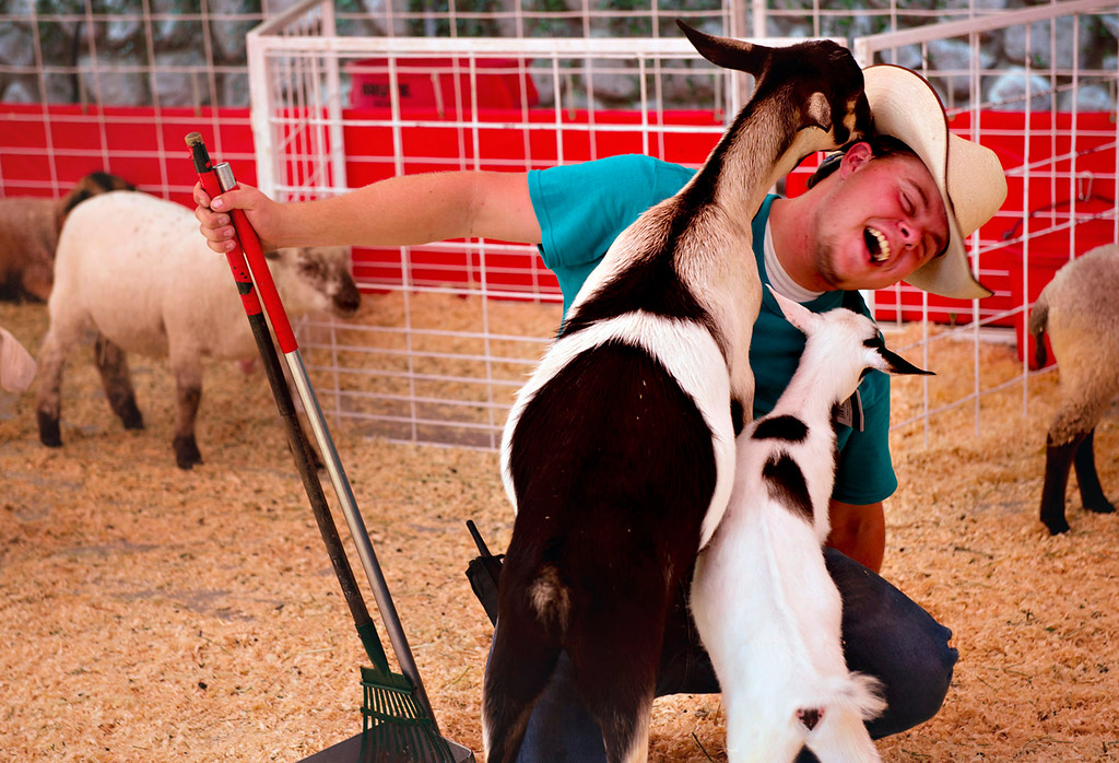 Description of . Petting Zoo animal caretaker Jacob Heigl, cq, shares a moment with two goats during the opening day of L.A. County Fair in Pomona on Friday, Aug. 30, 2013. (Staff photo by Watchara Phomicinda/ San Gabriel Valley Tribune)