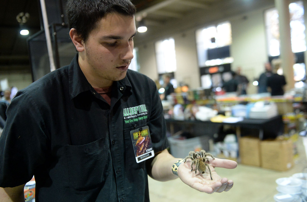 Description of . Morgan Z holds a spider during the Reptile Super Show which is the world's largest reptile show with more than 500 tables of rare & unique animals including lizards, turtles, frogs, supplies at the Fairplex in Pomona, Calif., on Saturday, Jan.4, 2014.   (Keith Birmingham Pasadena Star-News)