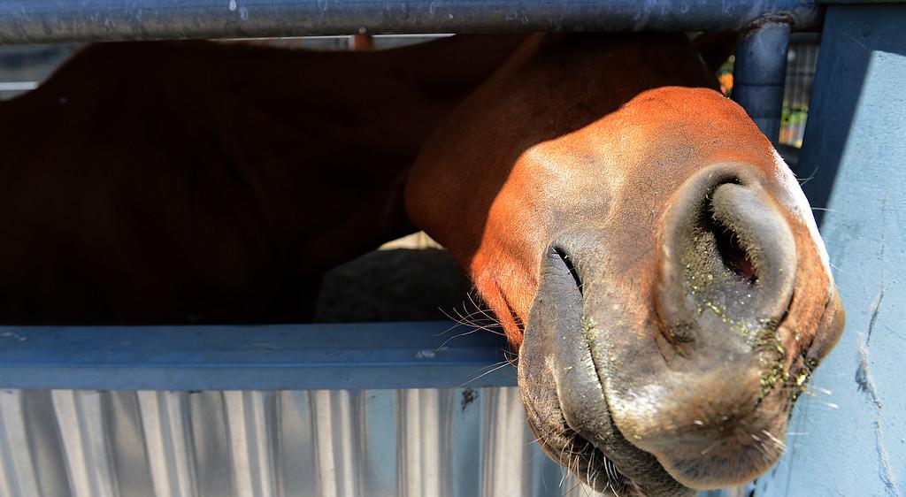 Description of . Sunny Dayz, the horse, is looking for her owner at a San Bernardino animal shelter, after police found her lost on San Bernardino streets. (Rick Sforza/The Sun, San Bernardino)