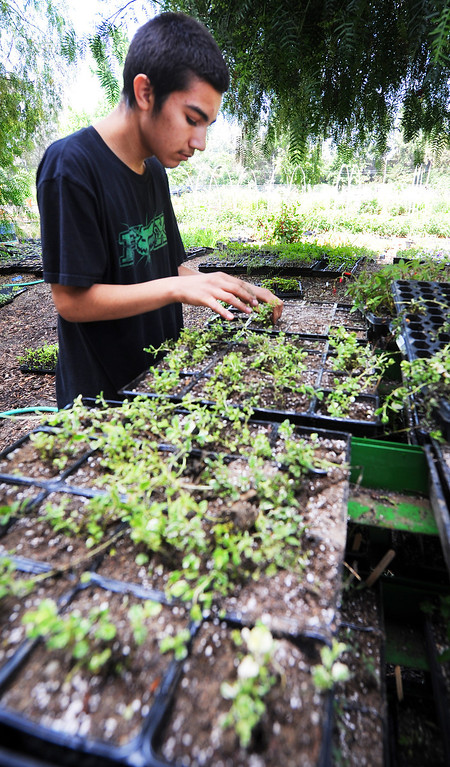 """Description of . Nelson Garibay, planting Pineapple Mint in small containers at Muir Ranch. Each year Americans squander enough food to fill the Rose Bowl to the brim, about 160 billion pounds of food, according to Jonathan Bloom, author of """"American Wasteland: How America Throws Away."""" Muir Ranch,  is trying to reduce food waste through two acres of urban farm at John Muir High School in Pasadena Tuesday, May 21, 2013. Students can enroll in classes or get paid internships, and the school cafeteria as well as local community gets access to fresh, locally grown produce. Right now no government agency is measuring how much food is wasted, so experts say that it will be hard to diminish food waste, a problem that leads to environmental pollution and waste of the oil used to transport the goods.(SGVN/Photo by Walt Mancini)"""