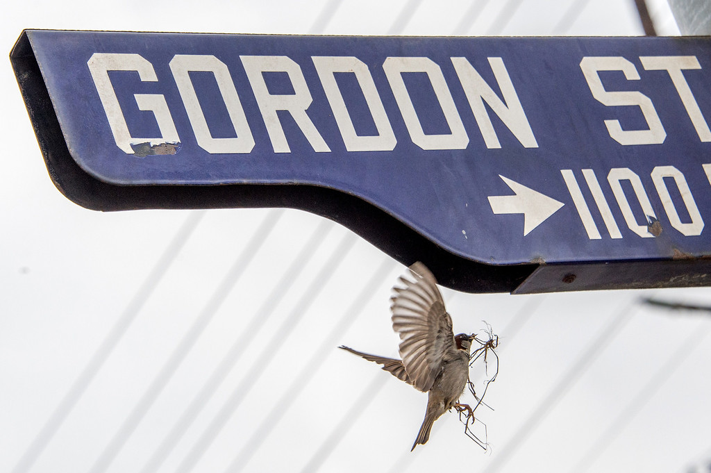Description of . A bird flies with dry grass to build a nest on a street sign opposite  the main gate of Hollywood Forever Cemetery during the funeral of Mick Jagger's girlfriend LWren Scott in Hollywood, California on March 25, 2014. The model-turned-fashion designer was found hanged in her luxury New York apartment last week. She was 49. The cemetery was closed for the roughly one-hour service, held amid tight security.           (JOE KLAMAR/AFP/Getty Images)