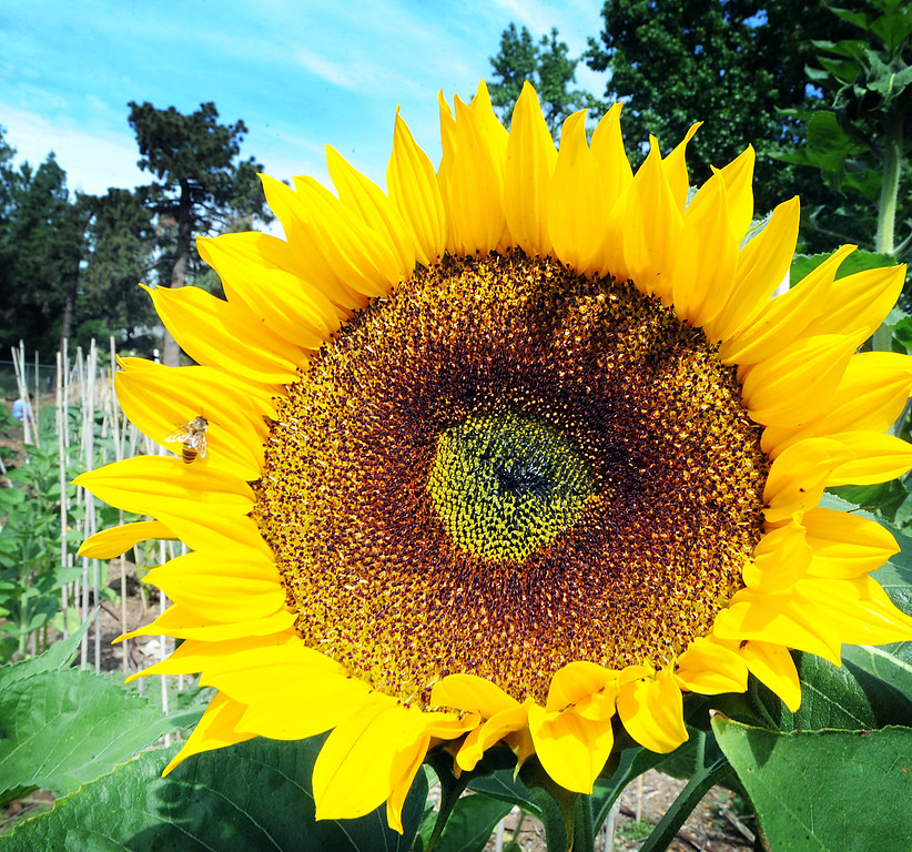 """Description of . Sunflower plants grown at  Muir Ranch. Each year Americans squander enough food to fill the Rose Bowl to the brim, about 160 billion pounds of food, according to Jonathan Bloom, author of """"American Wasteland: How America Throws Away."""" Muir Ranch,  is trying to reduce food waste through two acres of urban farm at John Muir High School in Pasadena Tuesday, May 21, 2013. Students can enroll in classes or get paid internships, and the school cafeteria as well as local community gets access to fresh, locally grown produce. Right now no government agency is measuring how much food is wasted, so experts say that it will be hard to diminish food waste, a problem that leads to environmental pollution and waste of the oil used to transport the goods.(SGVN/Photo by Walt Mancini)"""