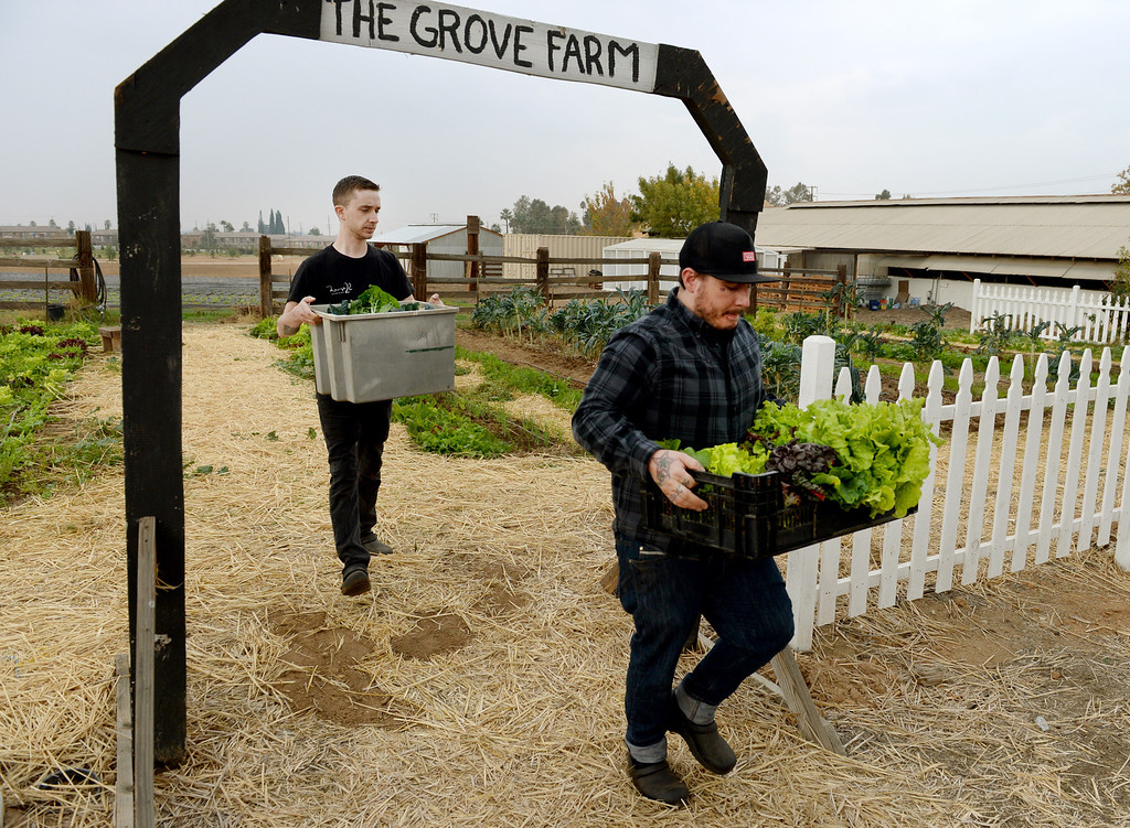 Description of . Head Chef, Jonathon Wiener, of The Lounge 22 Bistro & Bar in Redlands and cook Nick Loewy, leave The Grove School Farm after picking produce for the restaurant, Tuesday morning in Redlands, Nov. 19, 2013. The restaurant started working with the middle school last week for their produces needs and in the future will use the schools facilities to grow the majority of their own produce. (John Valenzuela/Staff Photographer)