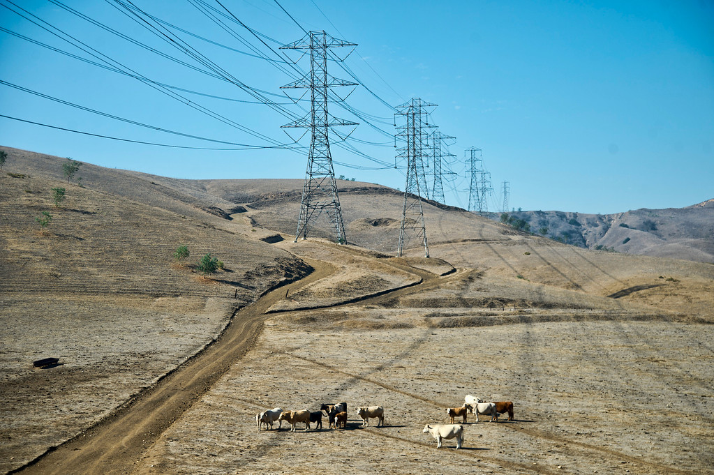 Description of . A herd of feral cows in Chino Hills State Park near Park Crest Dr. and Longway Powerline Trail on Tuesday, Oct. 22, 2013. (Photo by Watchara Phomicinda/San Gabriel Valley Tribune)
