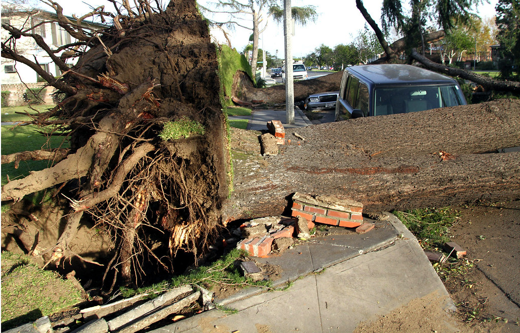 Description of . Giant trees uprooted and smashed onto parked cars on Huntington Drive in Arcadia, after 80 mile an hour wind storm hit the West San Gabriel Valley, on December 1, 2011. (photo by James Carbone/Correspondent)