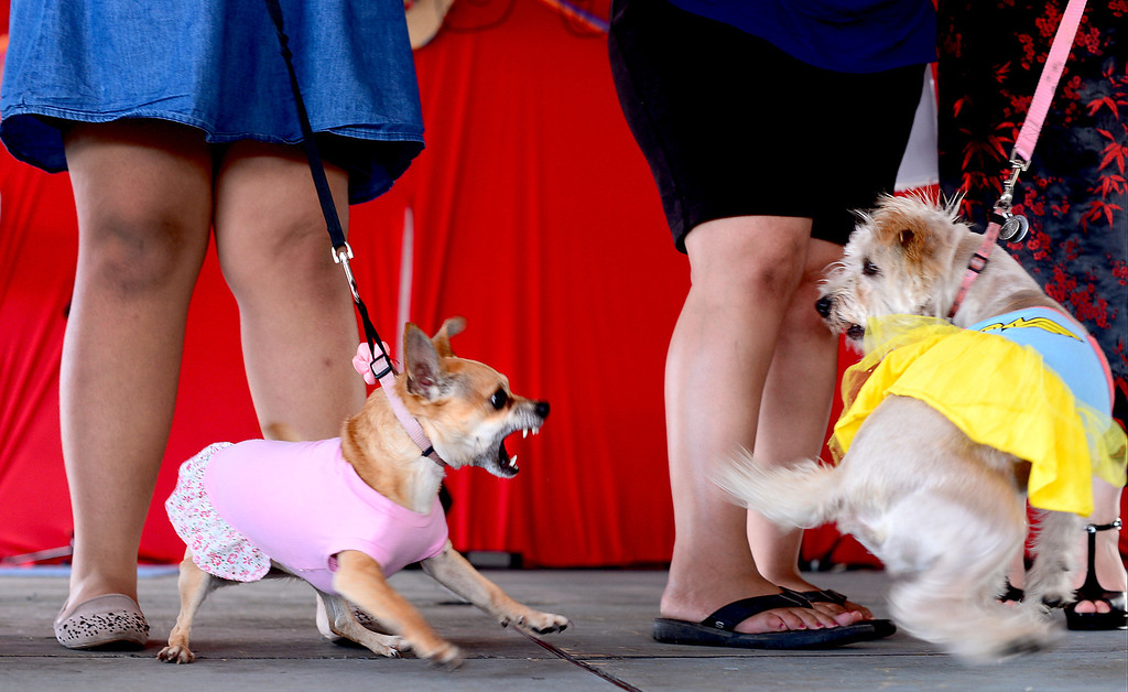 Description of . Mariafernanda Escribens' chihuahua GG and Frances Lepe's terrier mix Fiona, 3, mix it up during a pet costume  contest in the 242nd Annual La Fiesta de San Gabriel Saturday, August 31, 2013 at the San Gabriel Mission. The fiesta runs through Sunday. (Photo by Sarah Reingewirtz/Pasadena Star-News)