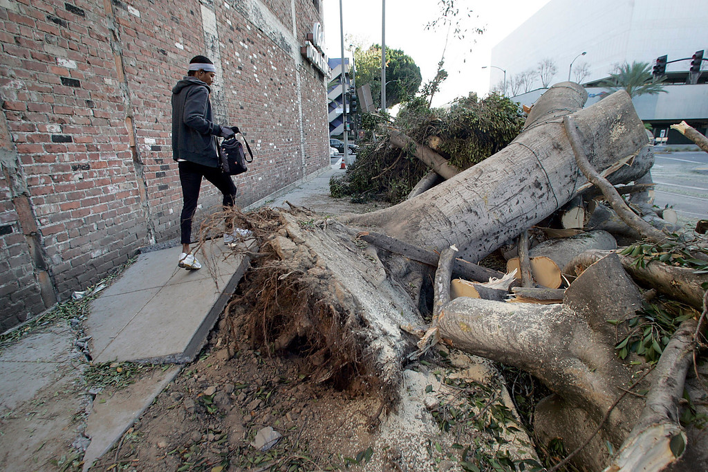 Description of . A woman makes her way over a buckled sidewalk on Green Street on her way to the gym where the remains of fig trees lay Friday, December 2, 2011 in Pasadena after gusting winds whipped through the San Gabriel Valley overnight Thursday. The City of Pasadena declared a state of emergency.  (SGVN/Staff Photo by Sarah Reingewirtz/SXCITY)