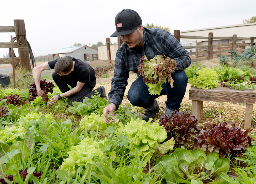 Description of . Head Chef, Jonathon Wiener, of The Lounge 22 Bistro & Bar in Redlands and cook Nick Loewy,  pick a variety of organic lettuce from The Grove School Farm  for the restaurant, Tuesday morning in Redlands, Nov. 19, 2013. The restaurant started working with the middle school last week for their produces needs and in the future will use the schools facilities to grow the majority of their own produce. (John Valenzuela/Staff Photographer)