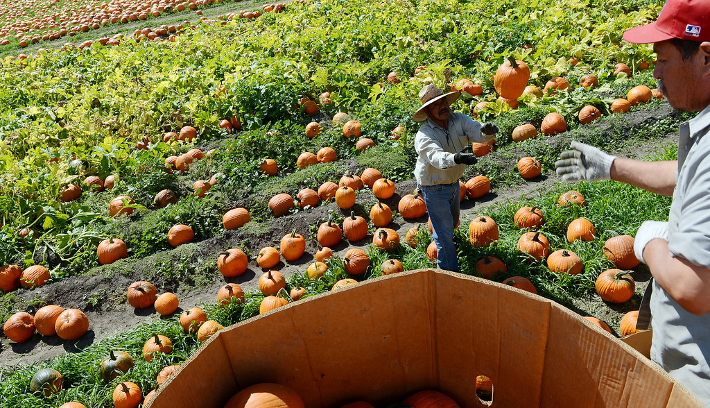 Description of . Workers have begun placing over 60,000 pumpkins outside the Cal Poly Farm Store Monday October 7, 2013 for the upcoming 21st annual Farm Store Pumpkin Festival which begins October 19. All pumpkins will cost $5 with proceeds going to the Cal Poly Pomona Agriculture Department. (Will Lester/Inland Valley Daily Bulletin)