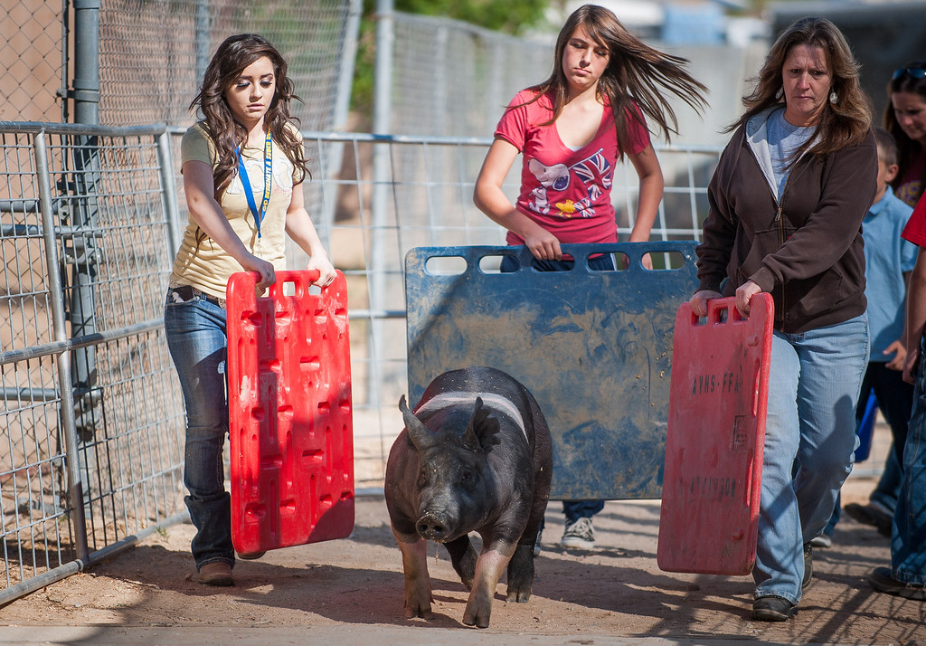 Description of . Apple Valley High School FFA members move a pig as preparations are made for opening day of the San Bernardino County Fair in Victorville, Friday,  May 24 2013. (Eric Reed/The Sun)