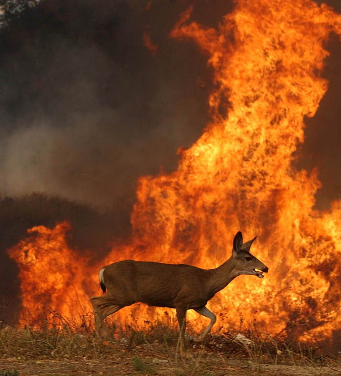 Description of . Ten years ago this month the arson caused Old Fire, fanned by Santa Ana winds burned thousands of acres, destroyed hundreds of homes and caused six deaths. The fire burned homes in San Bernardino, Highland, Cedar Glen, Crestline, Running Springs and Lake Arrowhead and forced the evacuation of thousand of residents. A deer runs pass flames Tuesday Oct, 28, 2003 the 15 freeway in Devore. (Staff file photo/The Sun)