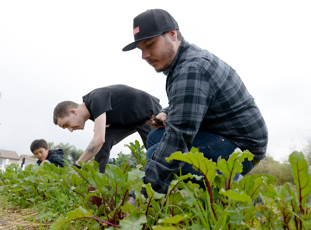 Description of . Head Chef, Jonathon Wiener, of The Lounge 22 Bistro & Bar in Redlands and cook Nick Loewy,  pick radishes  from The Grove School Farm  for the restaurant, Tuesday morning in Redlands, Nov. 19, 2013. The restaurant started working with the middle school last week for their produces needs and in the future will use the schools facilities to grow the majority of their own produce. (John Valenzuela/Staff Photographer)