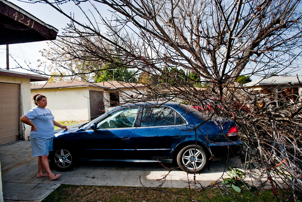 Description of . Monica Reyes' looks at her parked Honda Accord on her driveway after a large maple tree fell from her neighbor's yard and crushed a car in the 4200 block of Cogswell Rd. in El Monte on Thursday, Dec. 1, 2011. Winds gusting up to 80 miles an hour whipped through the west San Gabriel Valley overnight causing trees to snap and power lines to fall. (SGVN/Staff photo by Watchara Phomicinda/SVCity)