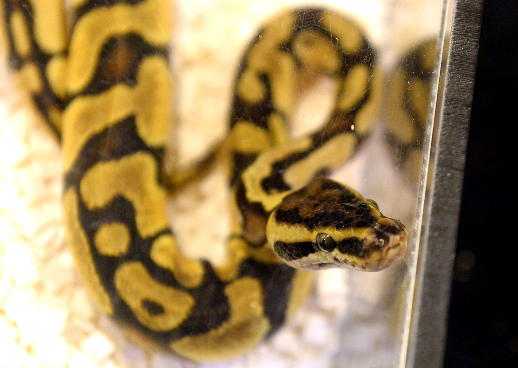 Description of . A Pastel Enchi snake during the Reptile Super Show which is the world's largest reptile show with more than 500 tables of rare & unique animals including lizards, turtles, frogs, supplies at the Fairplex in Pomona, Calif., on Saturday, Jan.4, 2014.   (Keith Birmingham Pasadena Star-News)