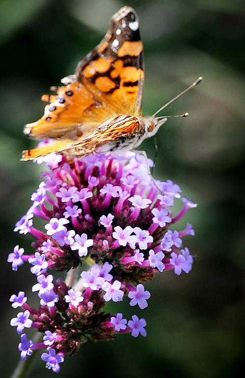 """Description of . A butterfly gathering the nectar of  a fragrant lavender to rose-purple flowers from a Verbena bonariensis plant at Muir Ranch. Each year Americans squander enough food to fill the Rose Bowl to the brim, about 160 billion pounds of food, according to Jonathan Bloom, author of """"American Wasteland: How America Throws Away."""" Muir Ranch,  is trying to reduce food waste through two acres of urban farm at John Muir High School in Pasadena Tuesday, May 21, 2013. Students can enroll in classes or get paid internships, and the school cafeteria as well as local community gets access to fresh, locally grown produce. Right now no government agency is measuring how much food is wasted, so experts say that it will be hard to diminish food waste, a problem that leads to environmental pollution and waste of the oil used to transport the goods.(SGVN/Photo by Walt Mancini)"""