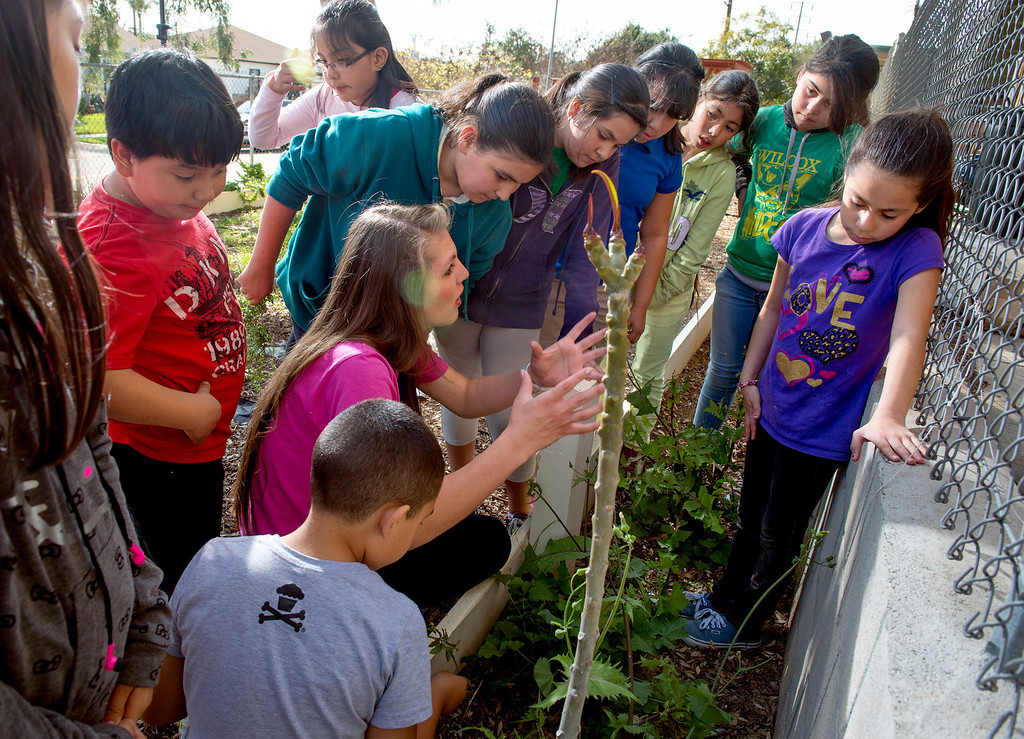 Description of . Wilcox Elementary School garden club members harvest vegetables from their campus garden to be sold at the Montebello Unified School District's upcoming farmer's market at Bell Gardens High School March 27, 2014.  (Staff photo by Leo Jarzomb/Whittier Daily News)