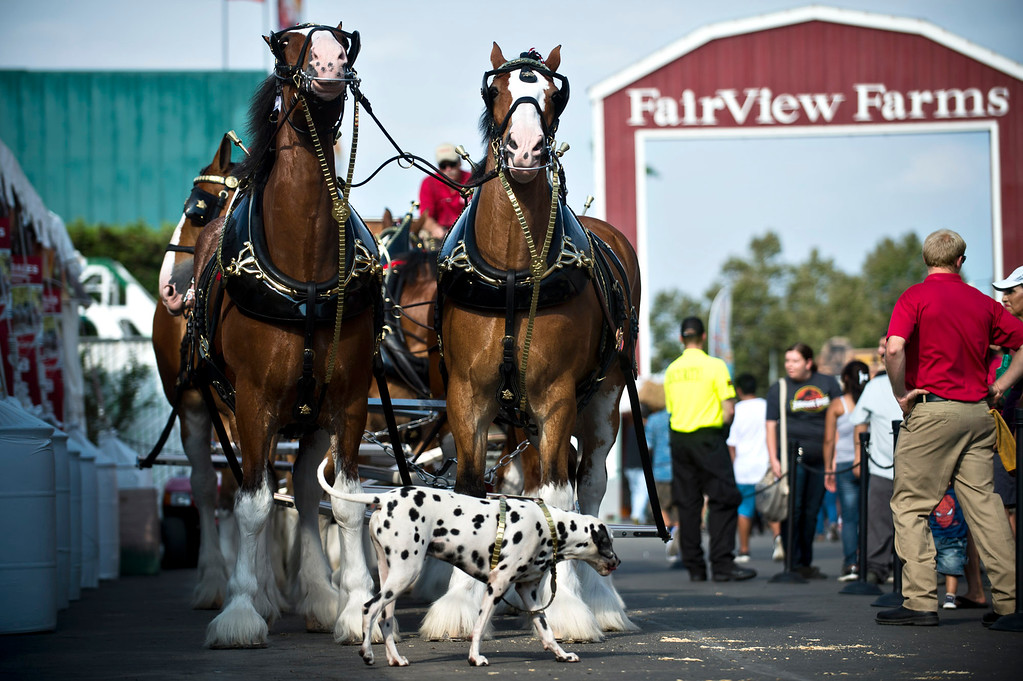 Description of . The Budweiser Clydesdales and the dalmatian lineup for a parade during the opening day of L.A. County Fair in Pomona on Friday, Aug. 30, 2013. (Staff photo by Watchara Phomicinda/ San Gabriel Valley Tribune)