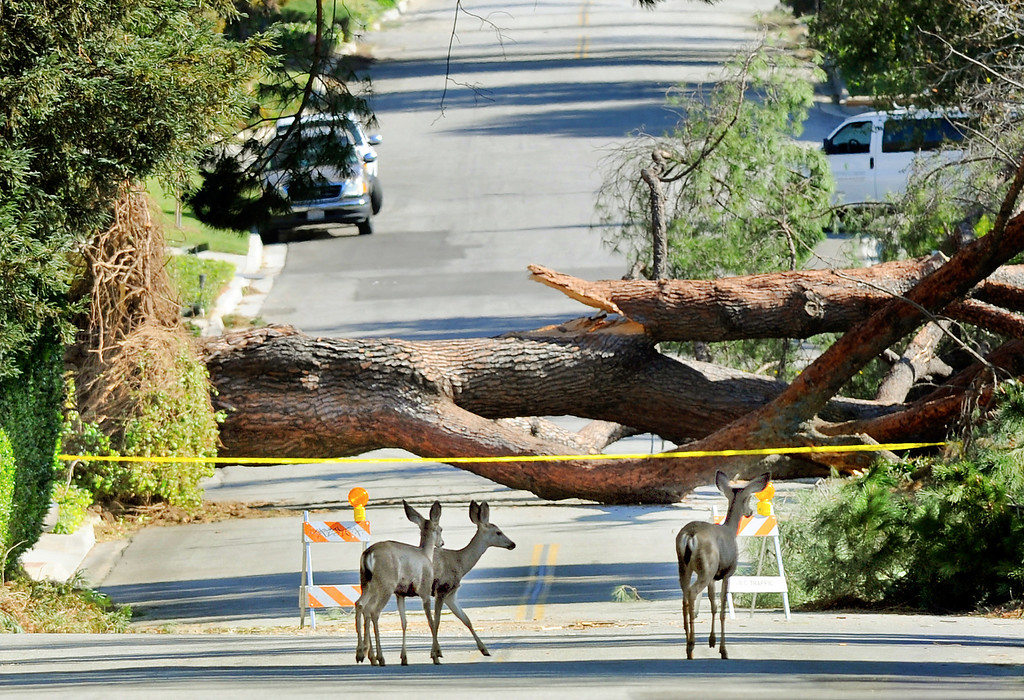 Description of . Deer cross the road on Elkins Avenue in Arcadia where vehicles are prohibited due to down trees Friday, December 2, 2011. (SGVN/Staff Photo by Walt Mancini/SXCity)
