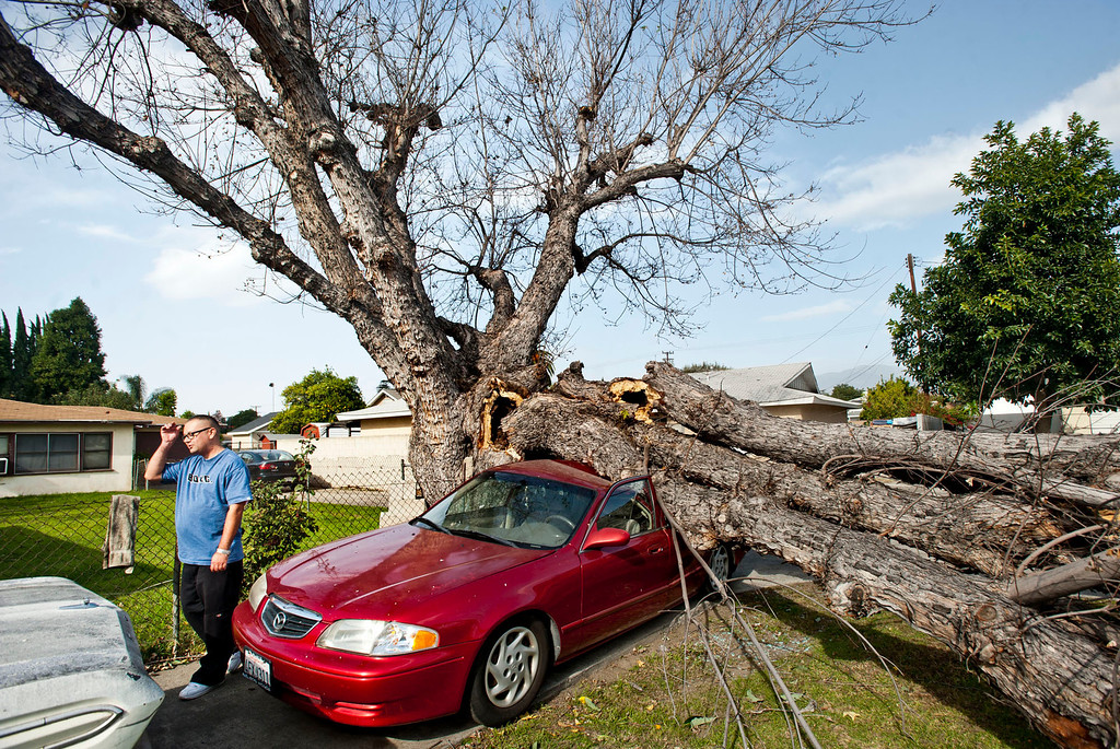 Description of . Rudy Benavidez, 36, is distraught by the damage on his mom's car after a large maple tree fell a crushed the 2000 Mazda parked on their driveway in the 4200 block of Cogswell Rd. in El Monte on Thursday, Dec. 1, 2011. Winds gusting up to 80 miles an hour whipped through the west San Gabriel Valley overnight causing trees to snap and power lines to fall. (SGVN/Staff photo by Watchara Phomicinda/SVCity)