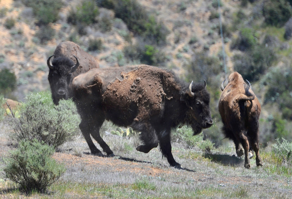 . Bison jump and run as a bison is hit with a dart. Bison sterilization program on Catalina Island by the Catalina Island Conservancy. (April 14, 2014. Photo by Brad Graverson/The Daily Breeze)
