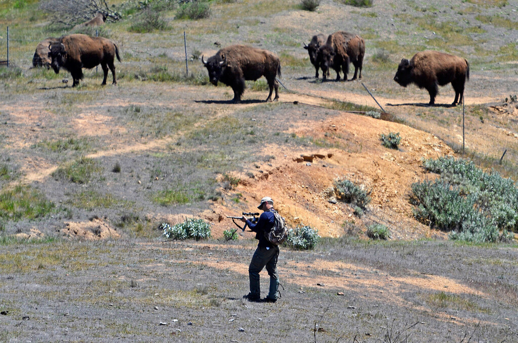 . Wildlife Biologist Calvin Duncan approaches the herd looking for specific female bison to dart.. Bison sterilization program on Catalina Island by the Catalina Island Conservancy. (April 14, 2014. Photo by Brad Graverson/The Daily Breeze)
