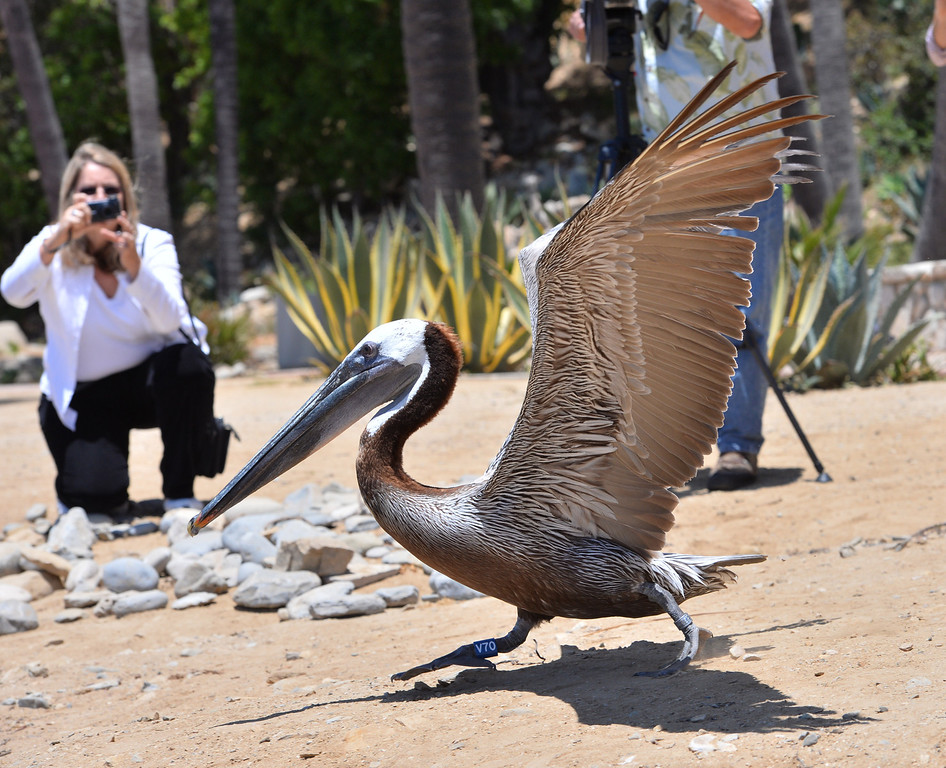 """. Pelican named \""""Pink\"""" scoots out of captivity and takes flight in San Pedro. The International Bird Rescue center repaired the bird\'s slashed pouch in a series of surgeries and today at White\'s Point it was released. Photo by Brad Graverson/The Daily Breeze/ 6-3-14"""