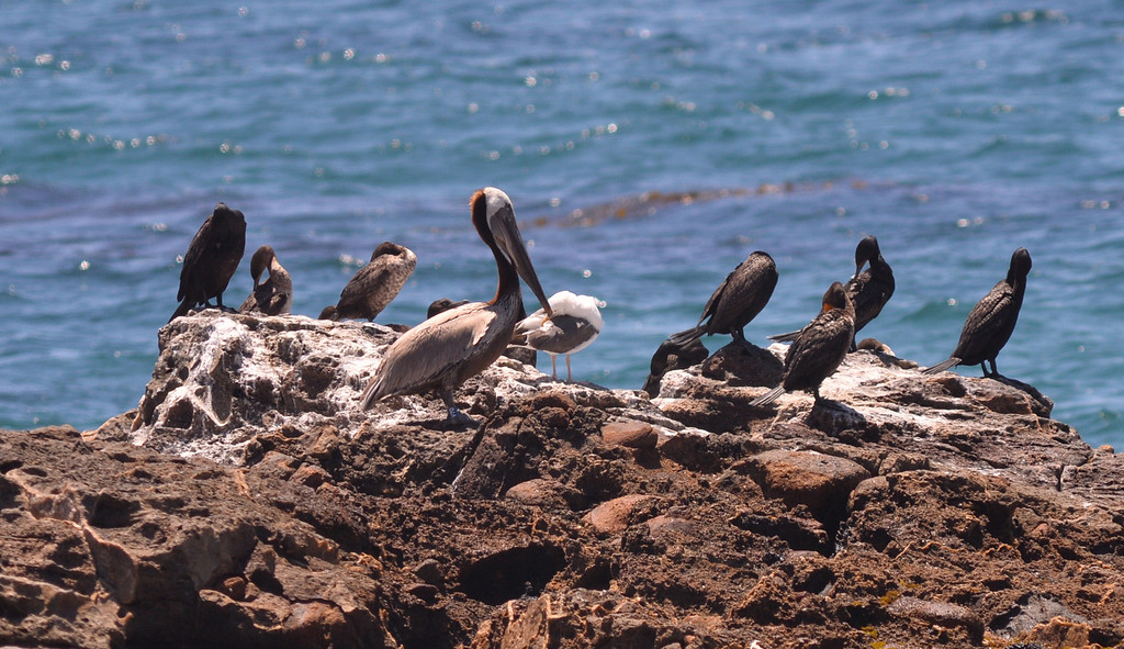 """. Pelican named \""""Pink\"""" flew off and sat on a rock outcropping with other birds.  The International Bird Rescue center repaired the bird\'s slashed pouch in a series of surgeries and today at White\'s Point it was released. Photo by Brad Graverson/The Daily Breeze/ 6-3-14"""