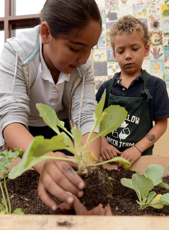 . 0918-NWS-LPT-L-GREEN-02-TRC Jessica Chavez, 10, and Tate Hammond, 5, plant a cabbage plant in their schools garden at Longfellow Elementary School, as U.S. Dept. of Education and state officials visit the Long Beach school because they\'ve won green ribbon awards for their environmental sustainability efforts in Long Beach CA. Tuesday September 18, 2013. (Photo by Thomas R. Cordova/ Daily Breeze)