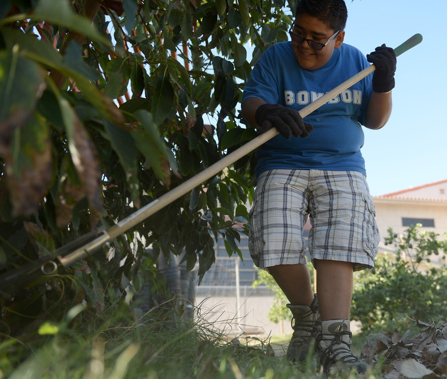 . James Cobos, 17 of Downey, rakes leaves from out under a fruit tree at the Vikings Farm at Downey High School in Downey CA. Tuesday October 1, 2013. Students raise the animals, and harvest fruit and veggies from their orchard and garden. (Photo by Thomas R. Cordova/ Daily Breeze)