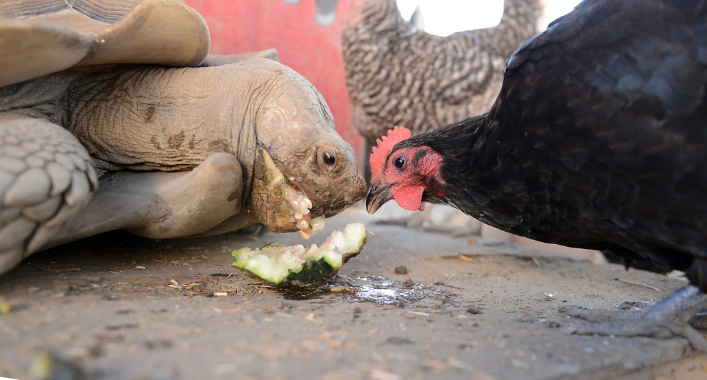 . The tortoise, Tank, goes head to head with one of the hens at the Vikings Farm at Downey High School in Downey CA. Tuesday October 1, 2013. Students raise the animals, and harvest fruit and veggies from their orchard and garden.(Photo by Thomas R. Cordova/ Daily Breeze)