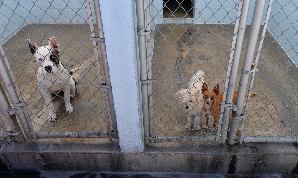 . A trio of curs awaits adoption at the SPCA shelter in Hawthorne will now accept stray animals found within the city of Hawthorne. Until now, Hawthorne strays were taken to Carson LACo shelter. Photo by Brad Graverson/The Daily Breeze/ 08/15/14