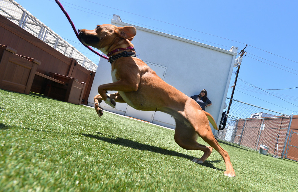 . Coachella gets a bit of exercise in the outdoor pens at the SPCA shelter in Hawthorne, which will now accept stray animals found within the city of Hawthorne. Until now, Hawthorne strays were taken to Carson LACo shelter. Photo by Brad Graverson/The Daily Breeze/ 08/15/14