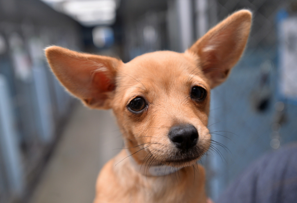 . Mia is a three-month-old chihuahua. SPCA shelter in Hawthorne will now accept stray animals found within the city of Hawthorne. Until now, Hawthorne strays were taken to Carson LACo shelter. Photo by Brad Graverson/The Daily Breeze/ 08/15/14