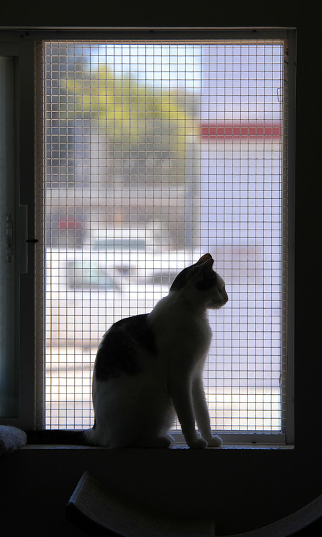 . In the cattery, a feline looks out from its favorite perch. SPCA shelter in Hawthorne will now accept stray animals found within the city of Hawthorne. Until now, Hawthorne strays were taken to Carson LACo shelter. Photo by Brad Graverson/The Daily Breeze/ 08/15/14