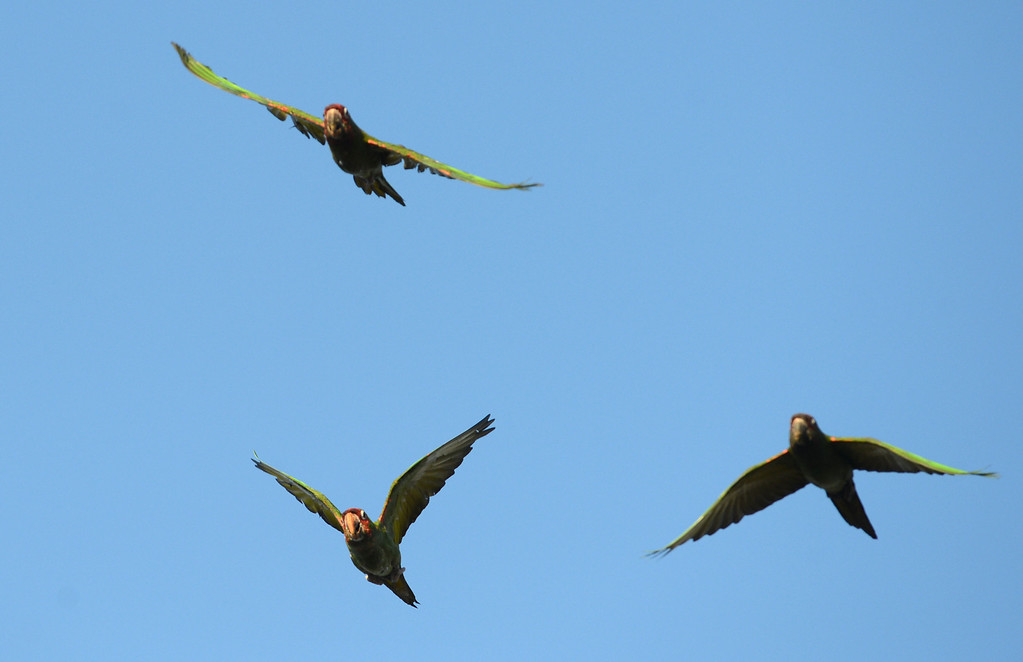. Long Beach, Calif., -- 08-20-13- Wild parrots fly over Belmont Shore. The parrots are called Mitred Conures and are native to South America. Salvatore Angius of Californiaflocks.org is trying to bring awareness to the Long Beach flock. Salvatore says the birds\' eggs are stolen from their nests by poachers.  