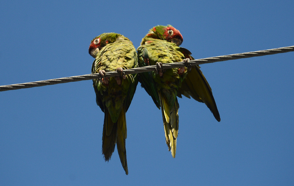 . Long Beach, Calif., -- 08-20-13-  Wild parrots in Belmont Shore. The parrots are called Mitred Conures and are native to South America. Salvatore Angius of Californiaflocks.org is trying to bring awareness to the Long Beach flock. Salvatore says the birds\' eggs are stolen from their nests by poachers.  
