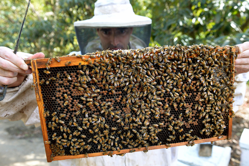 . David Jefferson looks for the queen in a beehive frame in his families\' avocado orchard in Somis, Tuesday, February 11, 2014. Jefferson is president of Bloom Honey, a Thousand Oaks-based raw honey purveyor with more than 1,000 beehives in California, Nevada and Arizona. Jefferson, whose family has large avocado and citrus farms in Ventura County, is preparing some hives to move to the Central Valley, where they will pollinate the state\'s mega-almond crop. (Photo by Michael Owen Baker/L.A. Daily News)