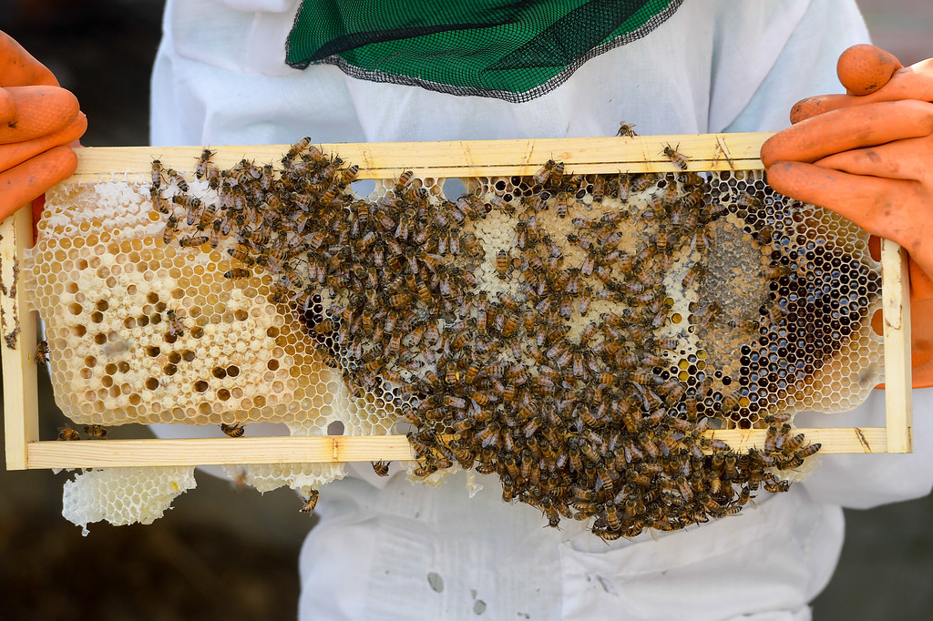 . Simon Bock , 8, holds a frame from a beehive with bees and honeycomb, Tuesday, February 25, 2014. (Photo by Michael Owen Baker/L.A. Daily News)