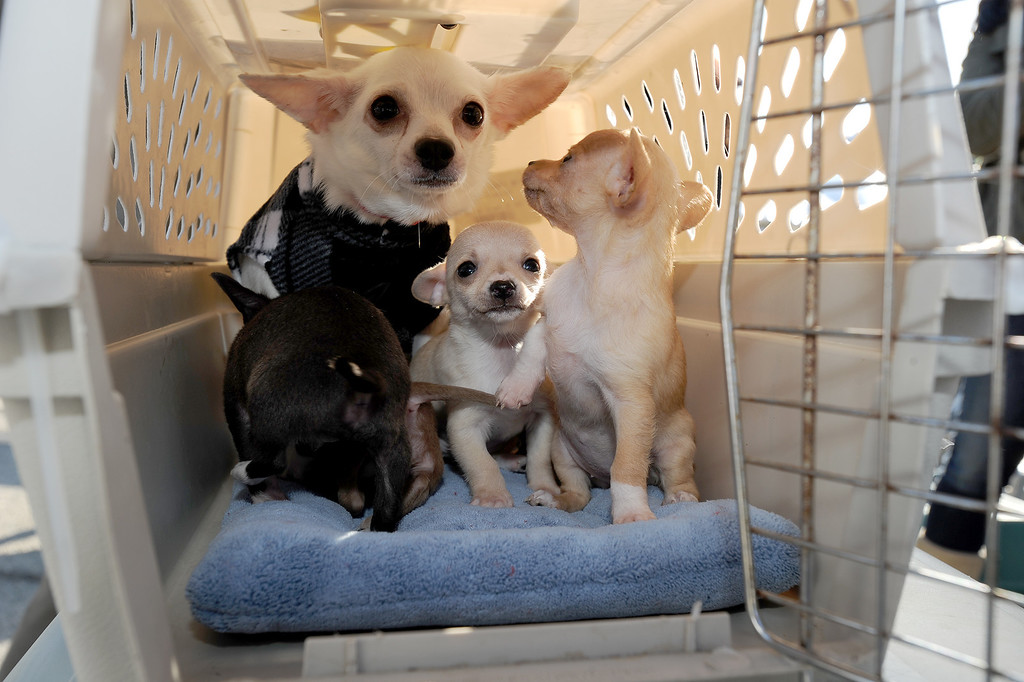 . A mother and her pups awaits her flight. Volunteers at Van Nuys airport loaded over 400 animals onto 14 private planes so that they could go to new homes all over the Pacific Northwest. The non-profit organization Wings of Rescue is in its 3rd year of finding homes for dogs and cats that would otherwise be put down. Van Nuys, CA. 12/5/2013, photo by (John McCoy/Los Angeles Daily News)
