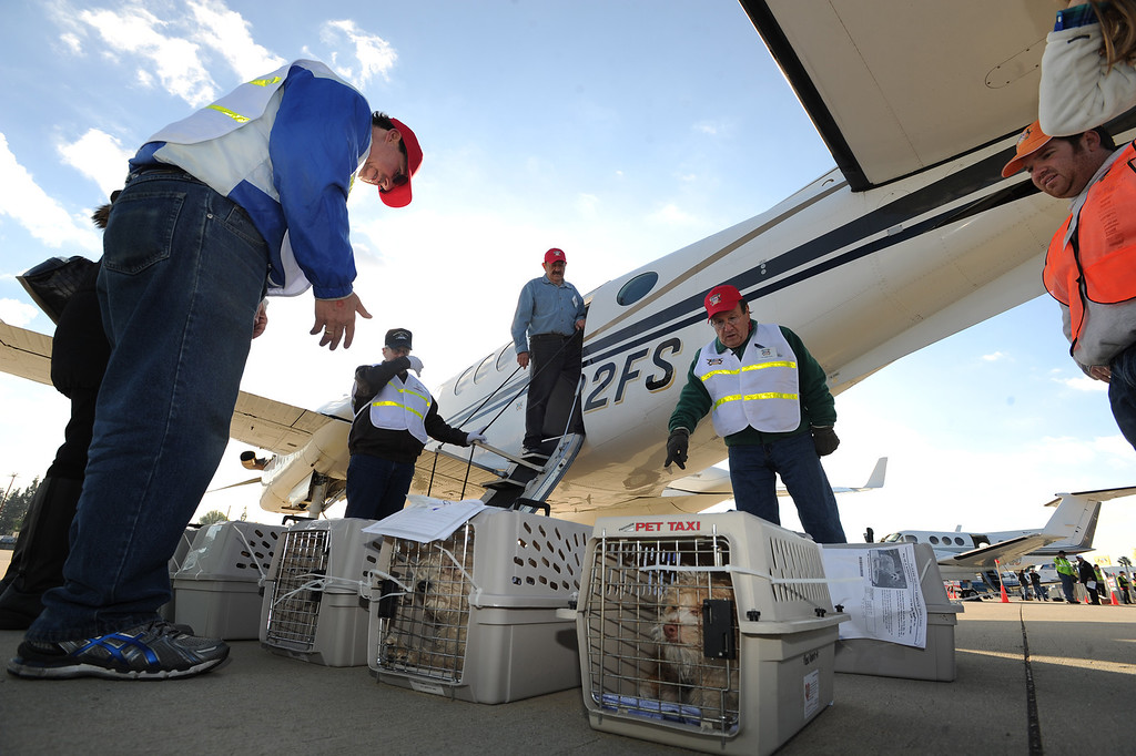 . Crated dogs wait to be loaded into a plane that will fly them to Montana. Volunteers at Van Nuys airport loaded over 400 animals onto 14 private planes so that they could go to new homes all over the Pacific Northwest. The non-profit organization Wings of Rescue is in its 3rd year of finding homes for dogs and cats that would otherwise be put down. Van Nuys, CA. 12/5/2013, photo by (John McCoy/Los Angeles Daily News)