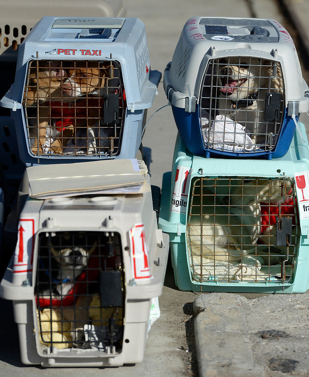 . Crated up pups await boarding passes. Volunteers at Van Nuys airport loaded over 400 animals onto 14 private planes so that they could go to new homes all over the Pacific Northwest. The non-profit organization Wings of Rescue is in its 3rd year of finding homes for dogs and cats that would otherwise be put down. Van Nuys, CA. 12/5/2013, photo by (John McCoy/Los Angeles Daily News)