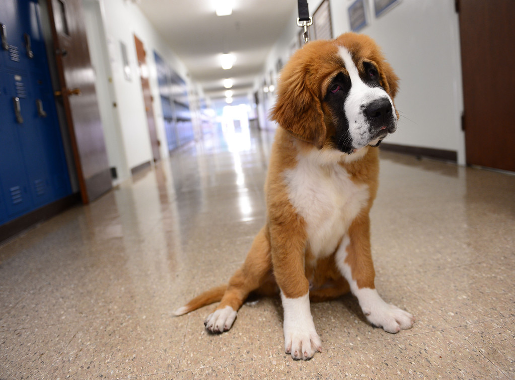. Sadie the Saint Bernard walks the halls after ribbon cutting event at St. Bernard High School in Playa Del Rey to recognize renovated school facilities. New chemistry and computer labs, library and student union.   Photo by Brad Graverson 8-20-13
