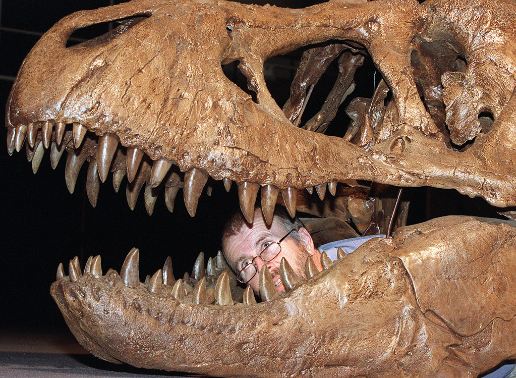 ". SYDNEY, AUSTRALIA:  Palaeontologist Robert Jones examines the jaw of a nine-metre Tyrannosaurus-rex at the Australian Museum in Sydney 08 October which will feature in ""Terrorsaurus.\""  The exhibition, which runs from 31 October 1998 to 25 April 1999, will have 13 interactive dinosaurs which move, make sounds and are situated in life-like environments.   (TORSTEN BLACKWOOD/AFP/Getty Images)"