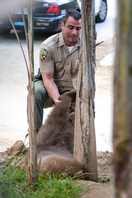 . Game warden JC Healy pulls a tranquilized bear from it\'s hiding place in the Shadow Hills area of Sun Valley early Wednesday morning.  The LAPD tracked the bear down and fish and game was able to dart the bear and to be released back into the wild.  Photo by David Crane/Staff Photographer