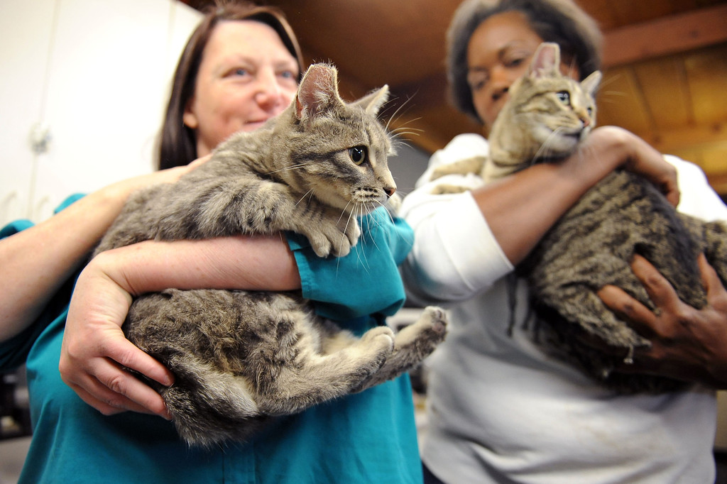 . Cats Willoughby and Hieronymous will call the LAPD horse barn their home after getting acclimated February 5, 2014.  The barn received two cats Wednesday courtesy of Voice for the Animals.  The cats will help keep rodents under control around the barn.(Andy Holzman/Los Angeles Daily News)