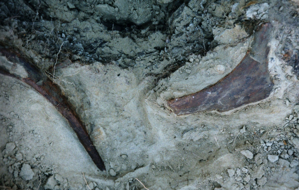 . The pelvic bone of a nearly complete skeleton of a juvenile Tyrannosaurus rex is seen at the excavation site in western South Dakota in this undated handout photo.  The skeleton of the dinosaur is being prepared for study in a Texas laboratory, researchers said Tuesday Nov 30, 1999.  Scientists had never found a complete skeleton of a juvenile Tyrannosaurus rex.   (AP Photo)