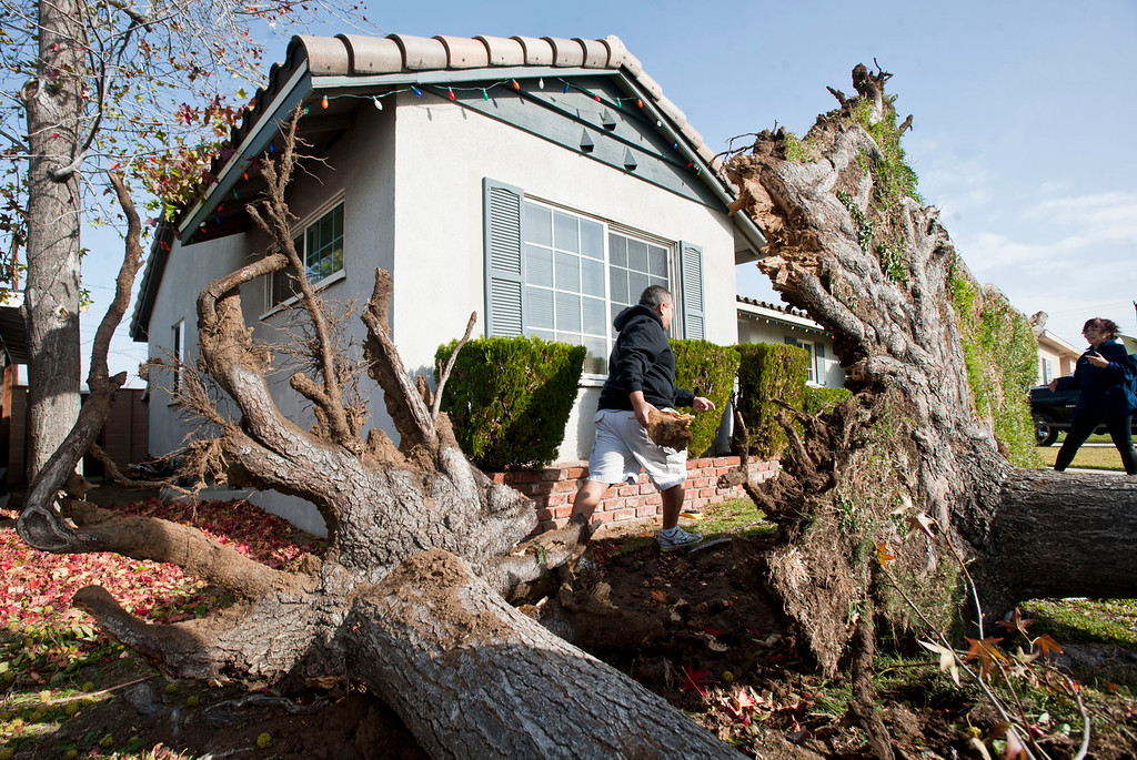 . Two trees fell in front of a home in 19800 block of Cienega Ave in Charter Oak on Thursday, Dec. 1, 2011. Winds gusting up to 80 miles an hour whipped through the west San Gabriel Valley overnight causing trees to snap and power lines to fall. (SGVN/Staff photo by Watchara Phomicinda/SVCity)